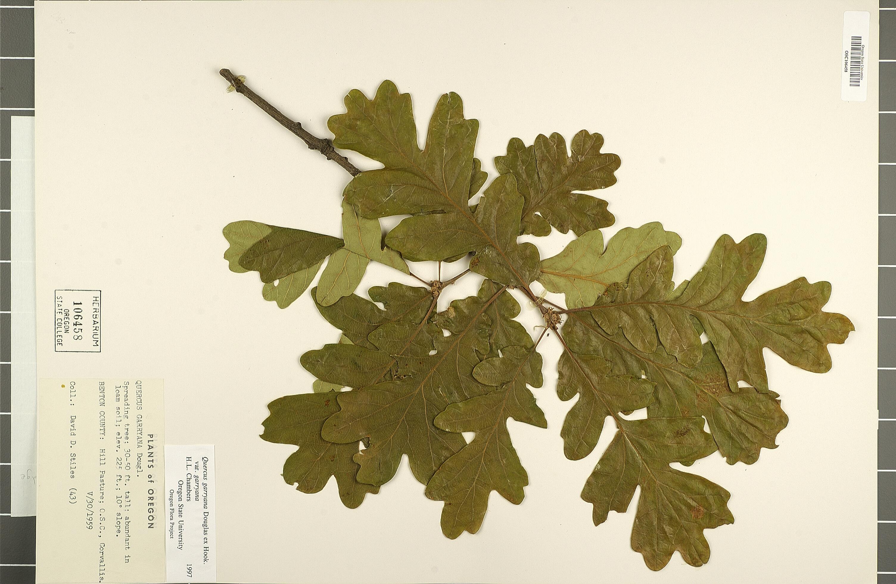 Index of /~tgd/leaves/dataset/herbarium/garryana